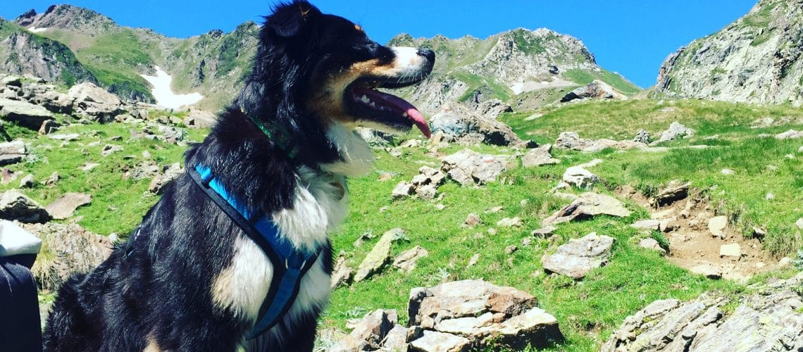 Wachinstinkt Australian Shepherd