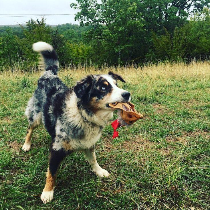 Welthundetag Australian Shepherd Liebe