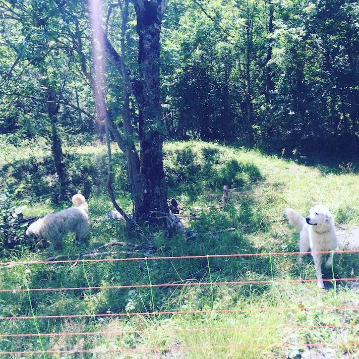 Herdenschutzhund Frankreich Alpen Wandern Wanderung