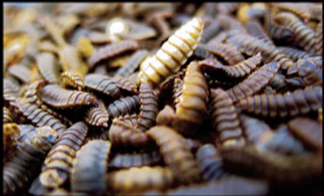 Larve der schwarzen Soldatenfliege Insekten-Protein Futter aus Insekten Hundefutter Test