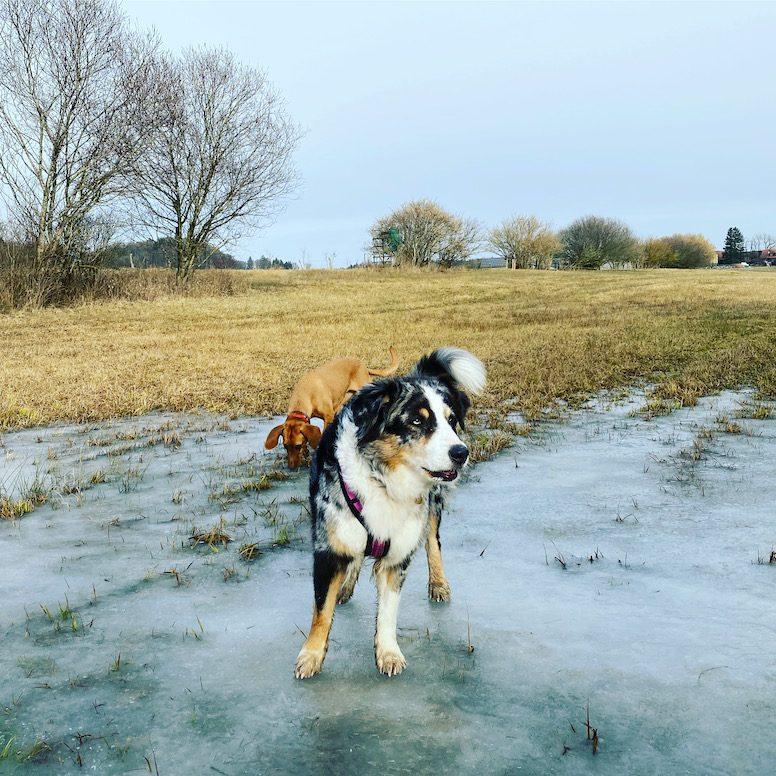 ErlebnisHunde Wandern mit Hund Starnberg Maisinger See Fünf-Seen-Land Hundeblog campingblog Australian Shepherd