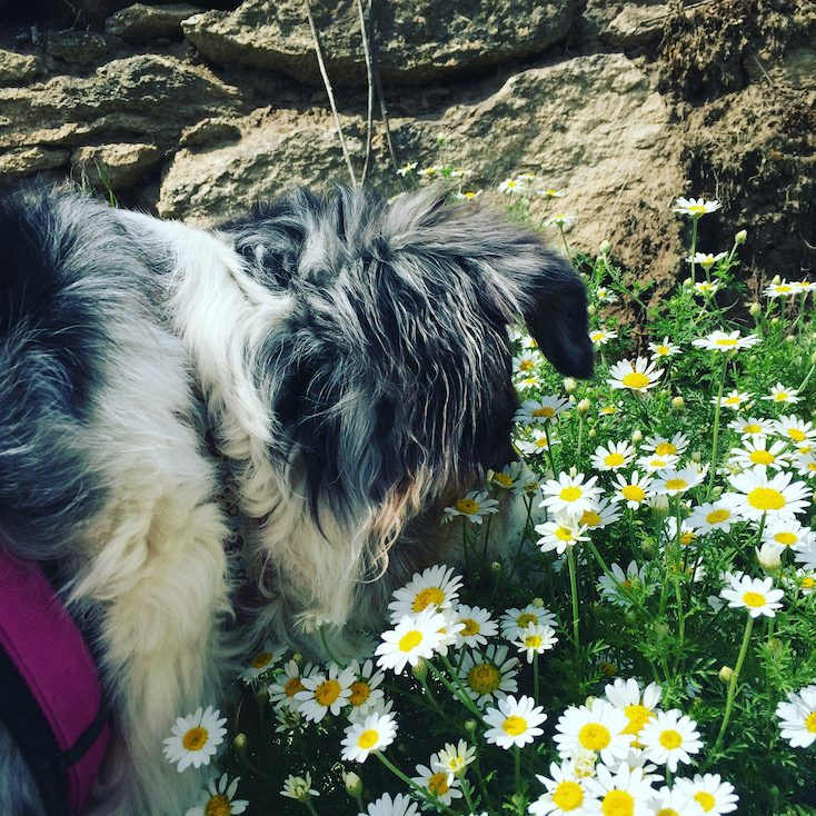 Reisen mit Hund wandern Camping Niederösterreich Retzer Weinland Australian Shepherd