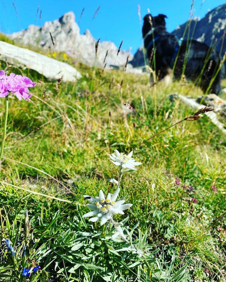 Maira Tal Edelweiß wandern mit Hund Sentiero Dino Icardi piemont Urlaub Italien Sommer