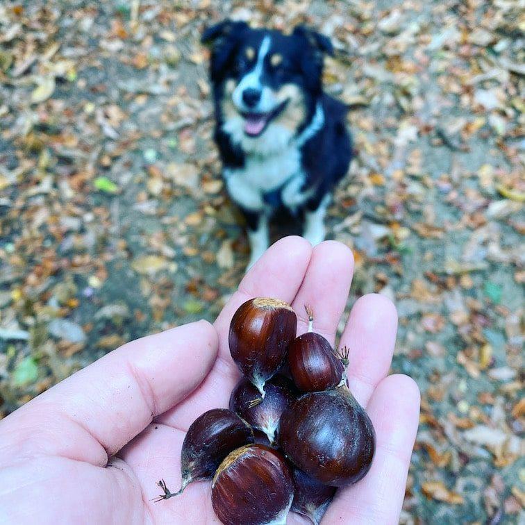 Steiermark Österreich Maroni Kastanien Unterwegs mit Hund Australian Shepherd Wanderung