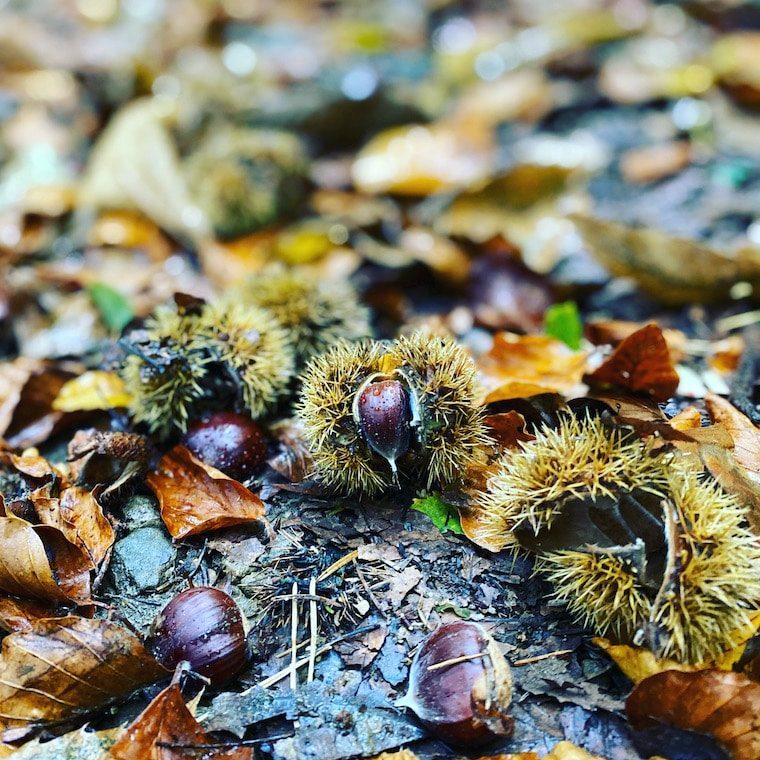 Maroni Kastanien Wald Österreich