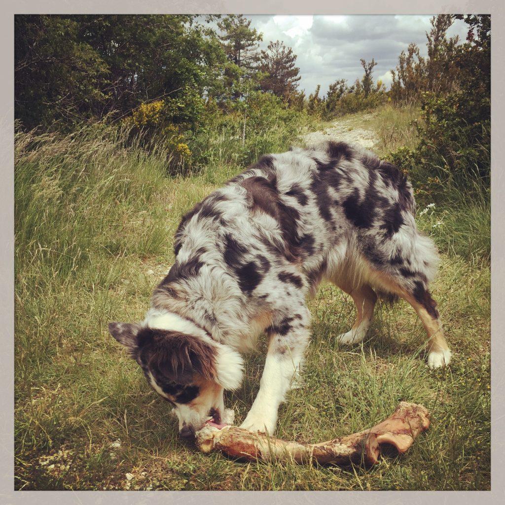 Australian Shepherd reisen mit Hund Aas Frankreich