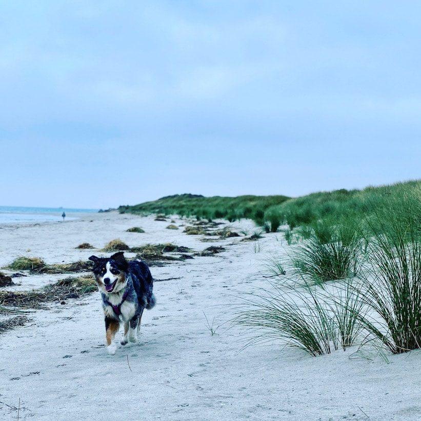 Reisen mit Hund Bretagne Strand Frankreich Roadtrip Australian Shepherd
